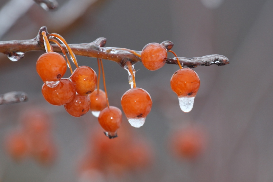 Ice on honeysuckle berries