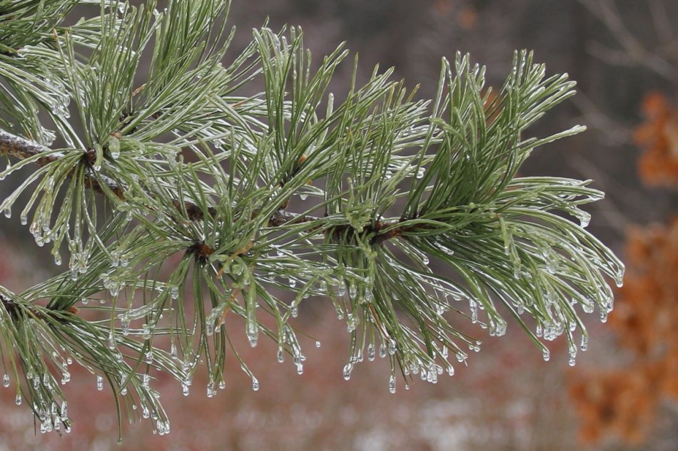 More ice on a white pine