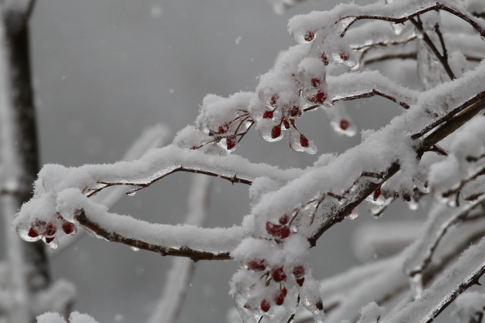 Berries covered with ice then snow