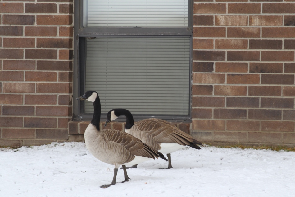 Canada geese window peeping at my apartment window