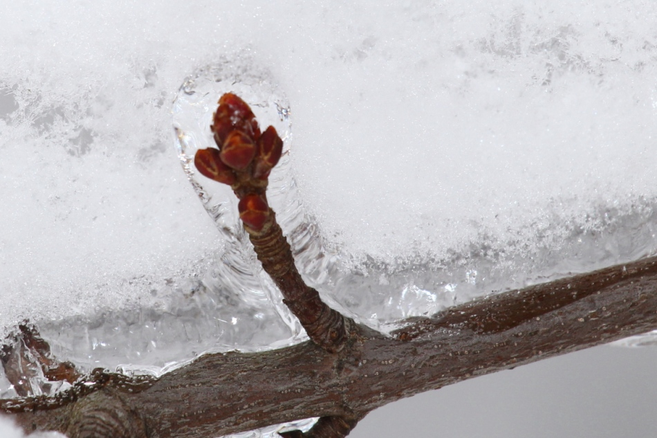 Ice coated maple buds