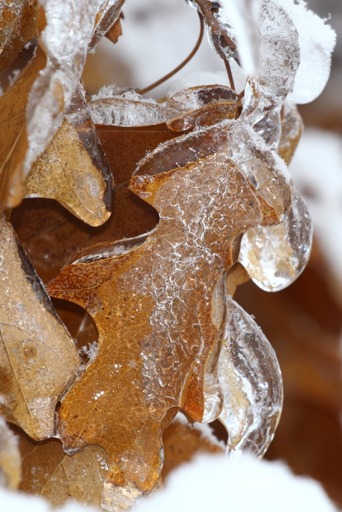 Ice on oak leaves
