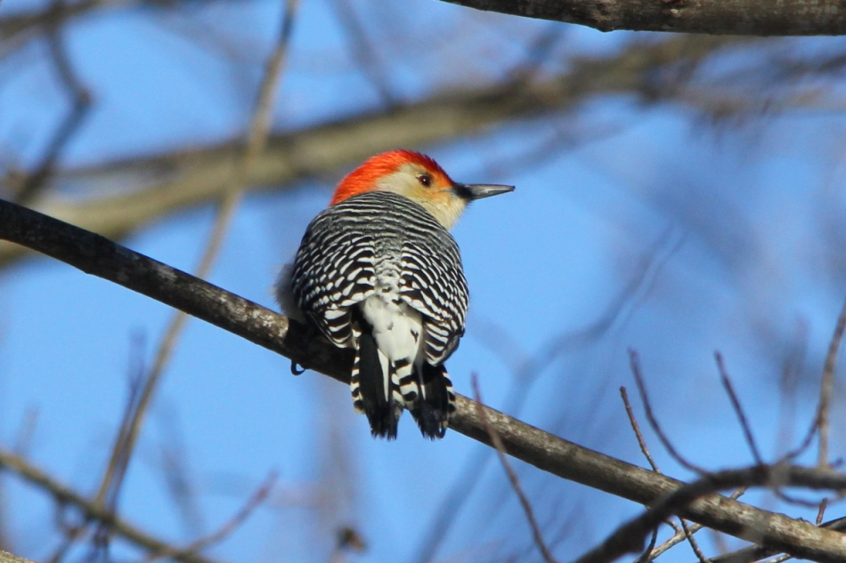 Male red-bellied woodpecker