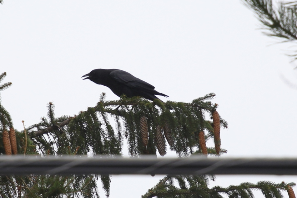 American crow, shot at +1 2/3 EV