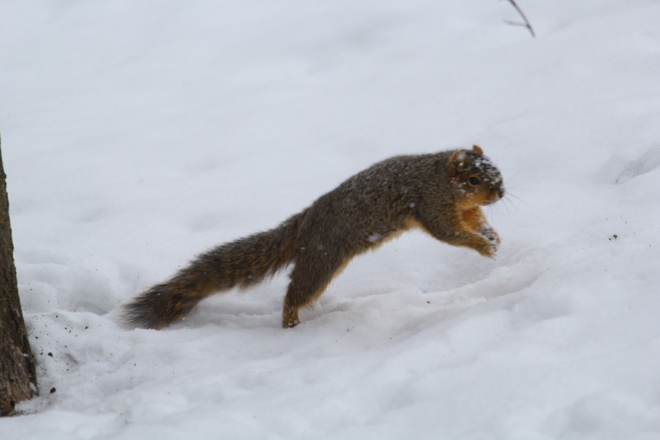 Fox squirrel leaping