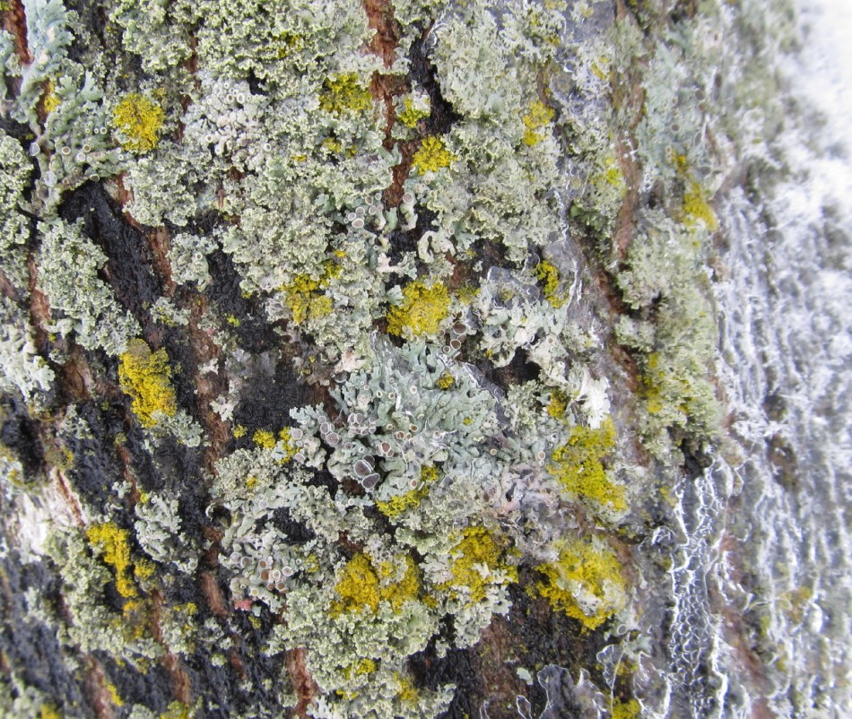 Ice covered lichens