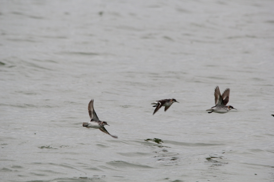 Red-necked phalarope, non-breeding, in flight