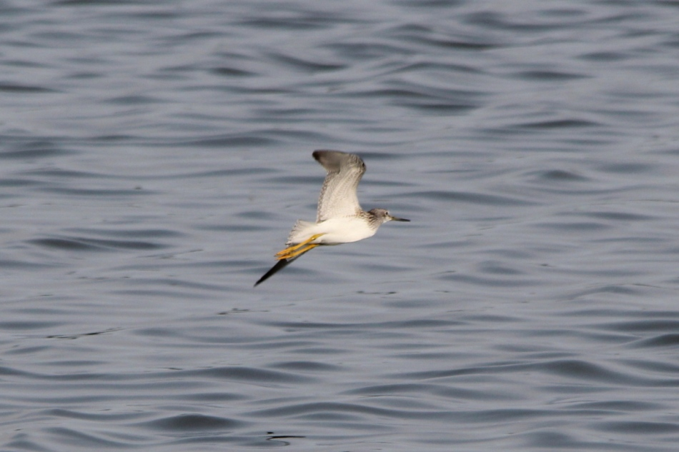 Greater Yellowlegs in flight