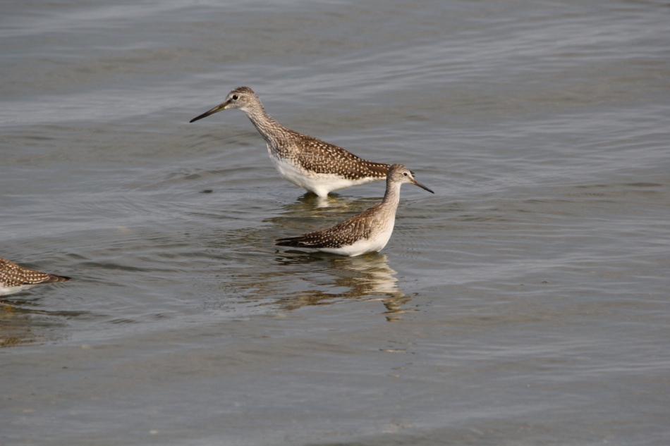 Greater yellowlegs to the rear, lesser yellowlegs in front