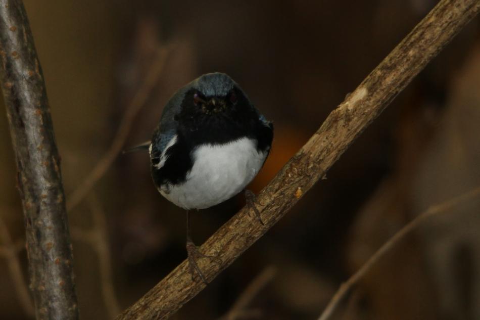 Black-throated Blue Warbler, Setophaga caerulescens