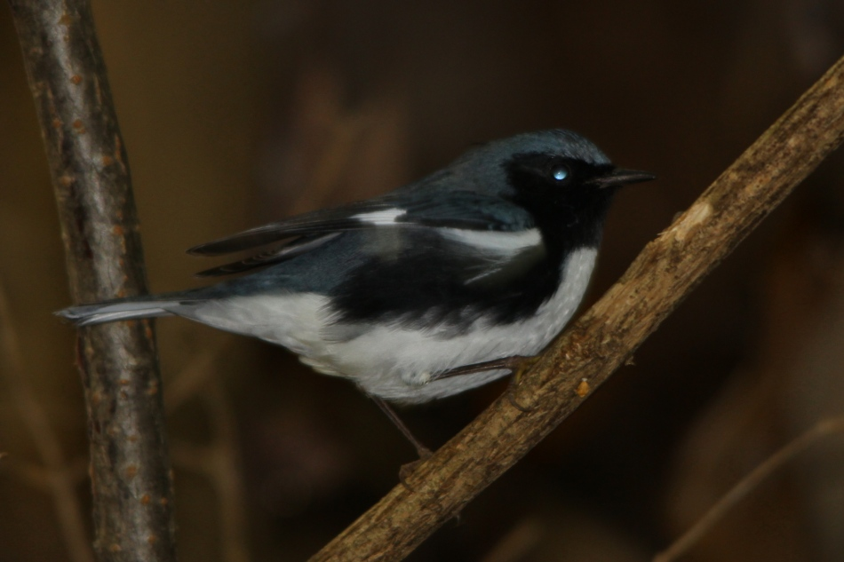 Black-throated Blue Warbler, Setophaga caerulescens
