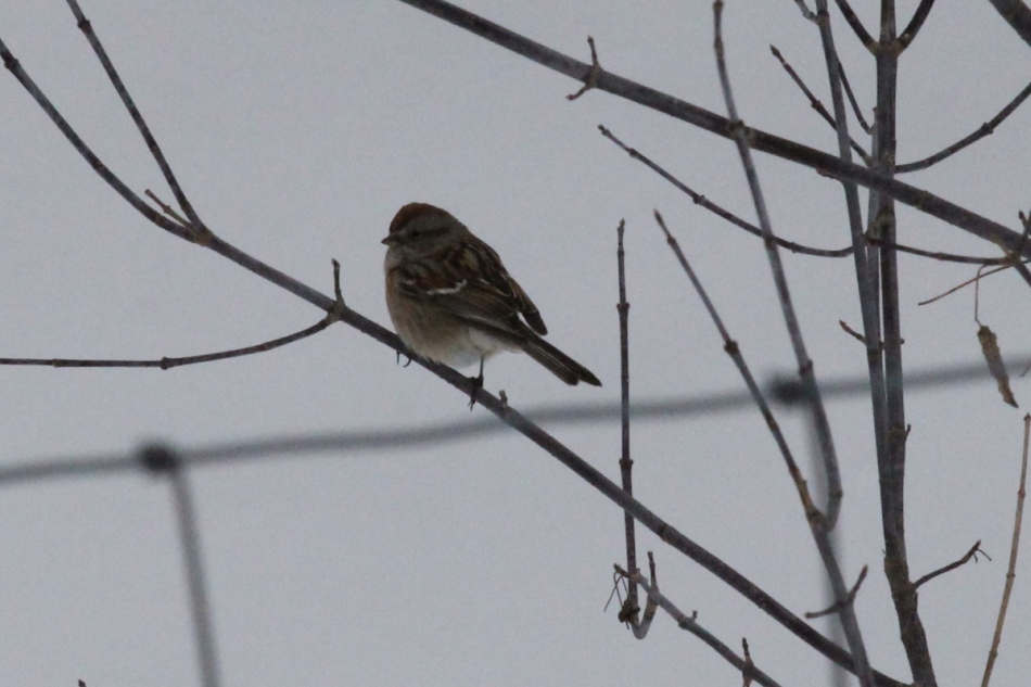 American tree sparrow, high ISO test