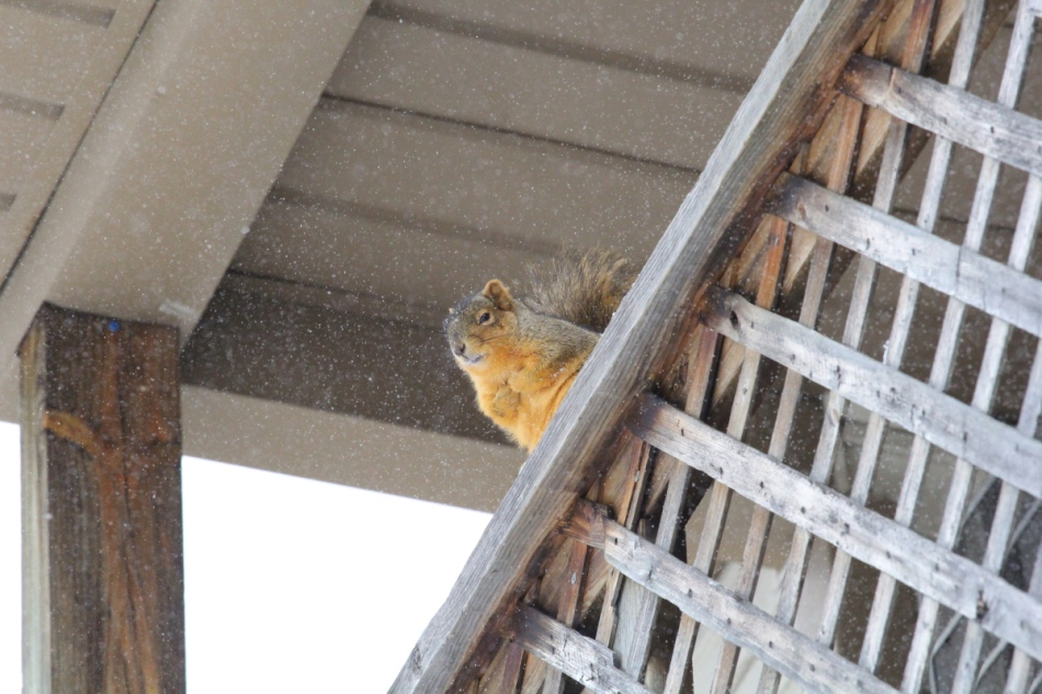 Fox squirrel, ISO 3200, not cropped