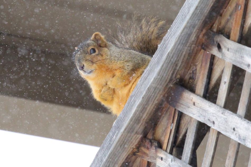 Fox squirrel, ISO 3200, cropped