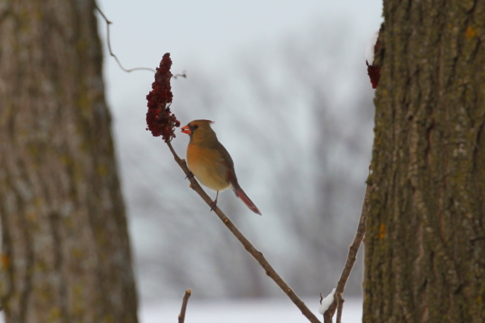 Female northern cardinal eating sumac