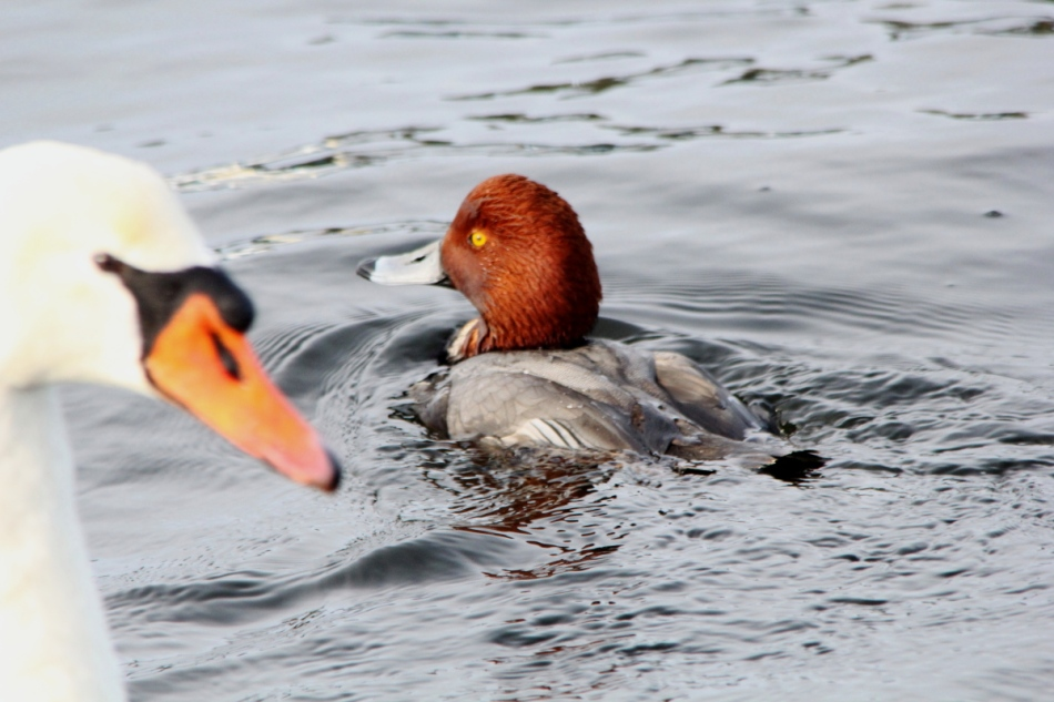 Male redhead duck photo-bombed by a mute swan