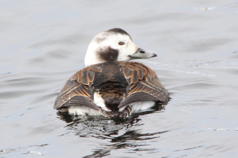 Female long tailed duck