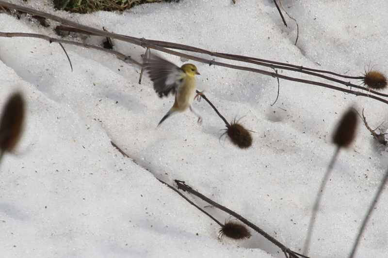 American goldfinch shaking seeds out teasel