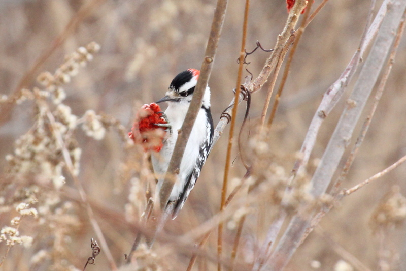 Male Downy woodpecker eating sumac
