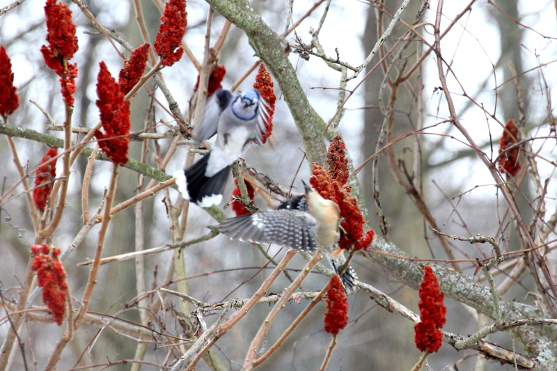 Blue jay attacking a red-bellied woodpecker