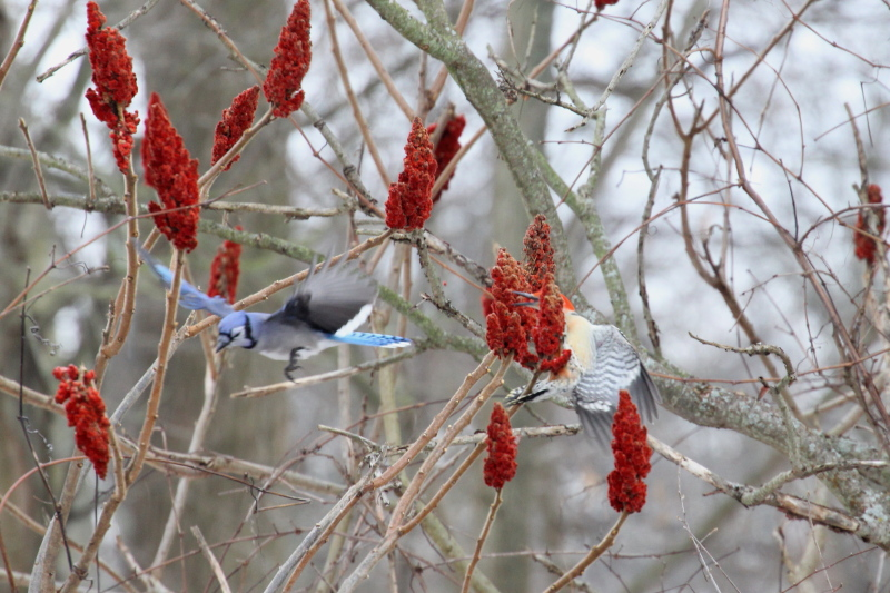 Red-bellied woodpecker driving off an attacking blue jay