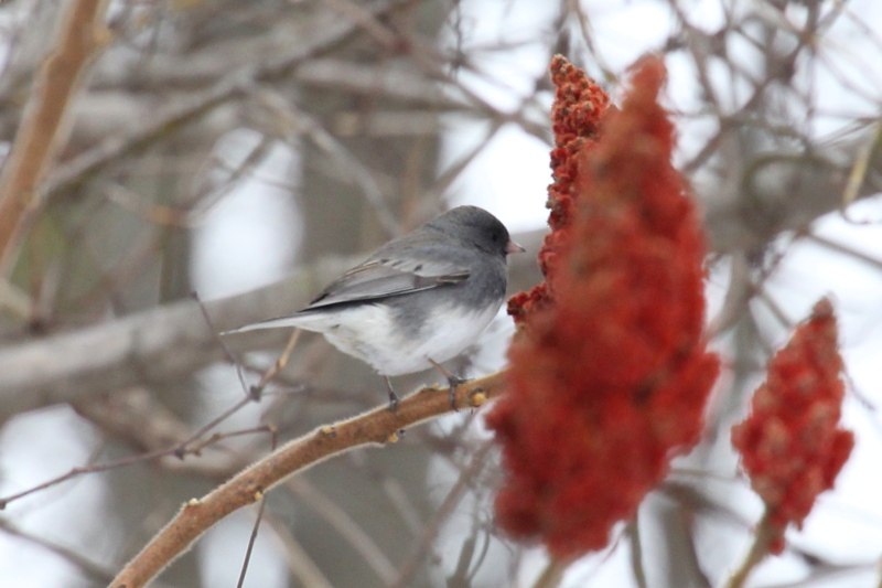 Dark-eyed junco eating sumac