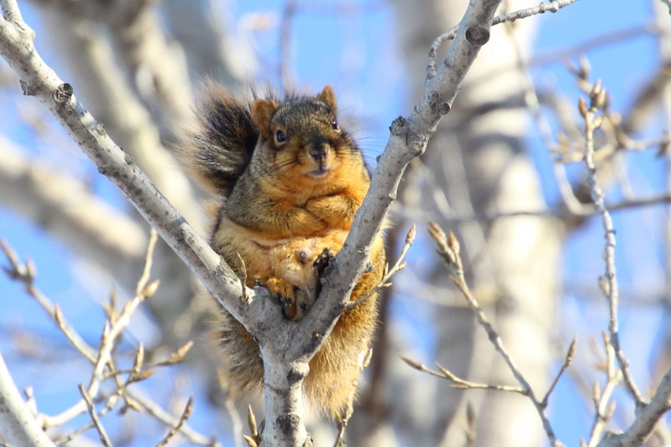 Fox squirrel trying to stay warm