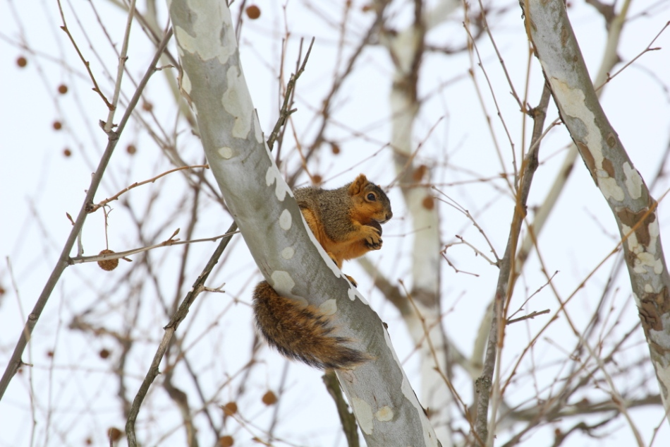 Fox squirrel in a sycamore tree