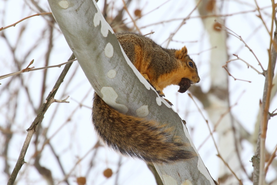 Fox squirrel, cropped