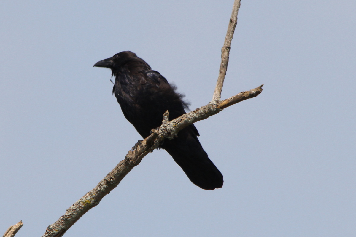 The distribution, breeding and diet of Ravens Corvus corax ...