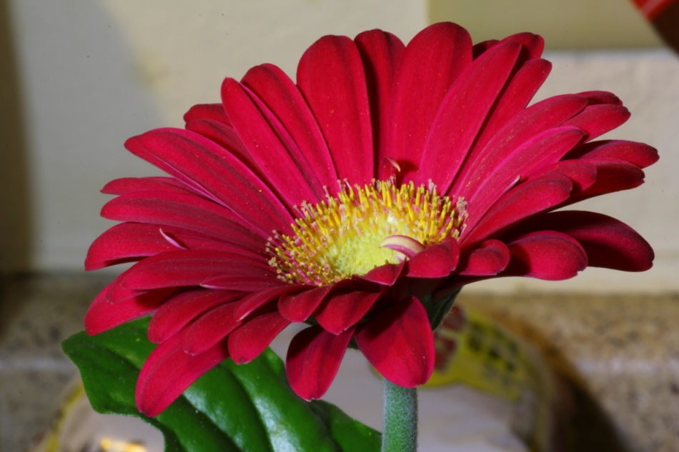Macro of a gerbera flower