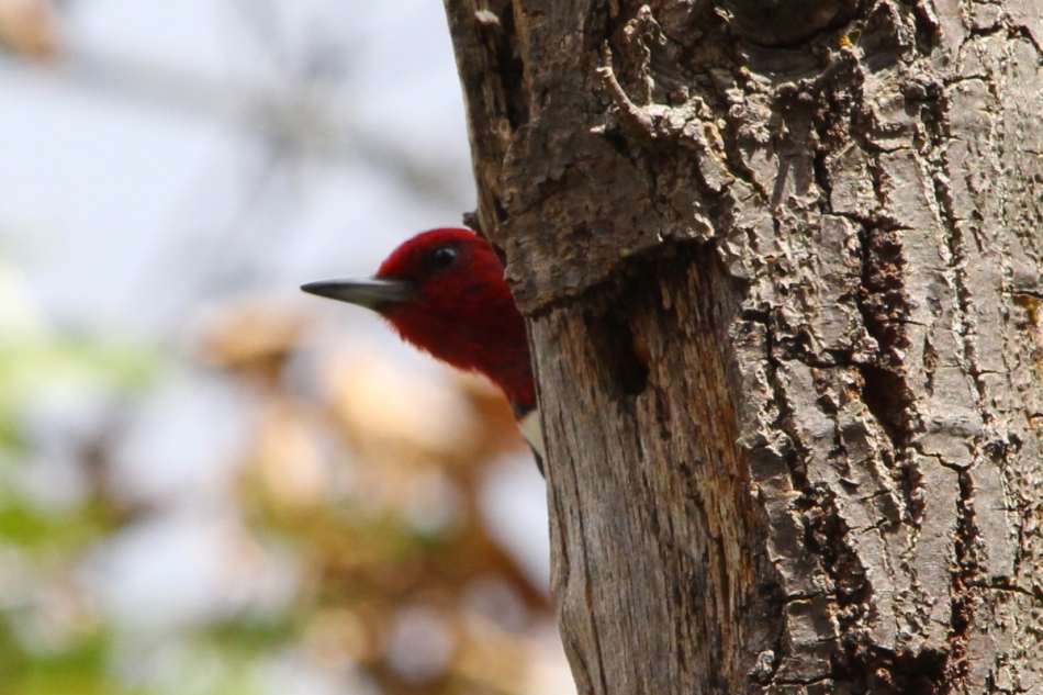 Red-headed Woodpecker, Melanerpes erythrocephalus