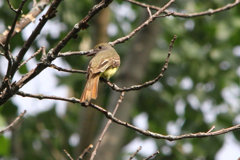 Great Crested Flycatcher, Myiarchus crinitus