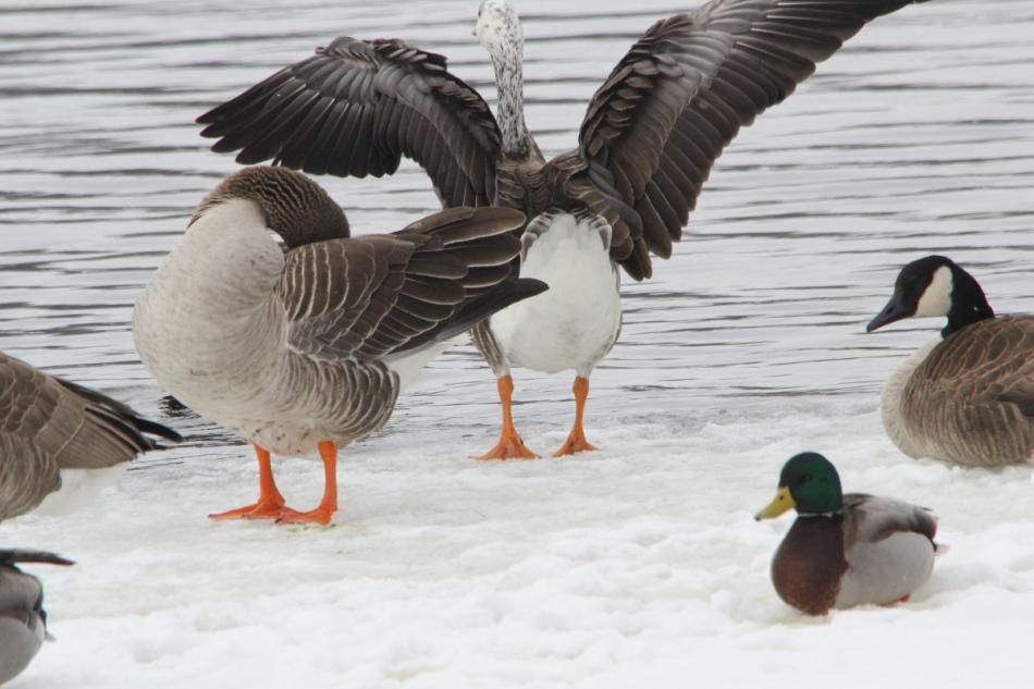 Domestic X Canada goose hybrid