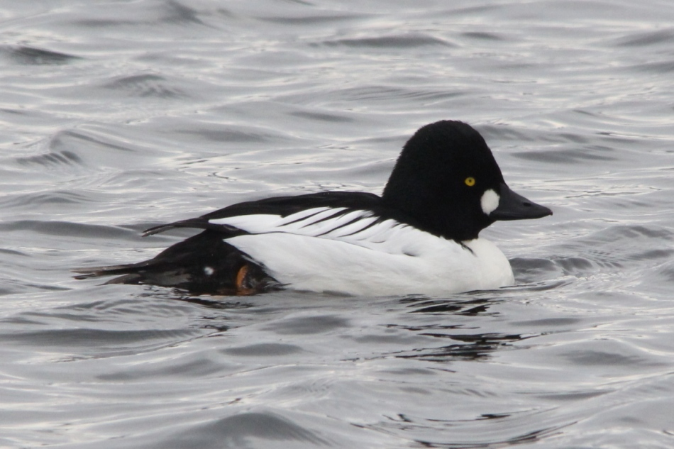 Male common goldeneye