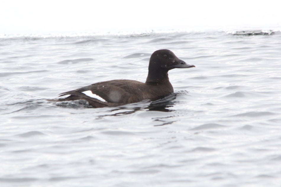 Female white-winged scoter