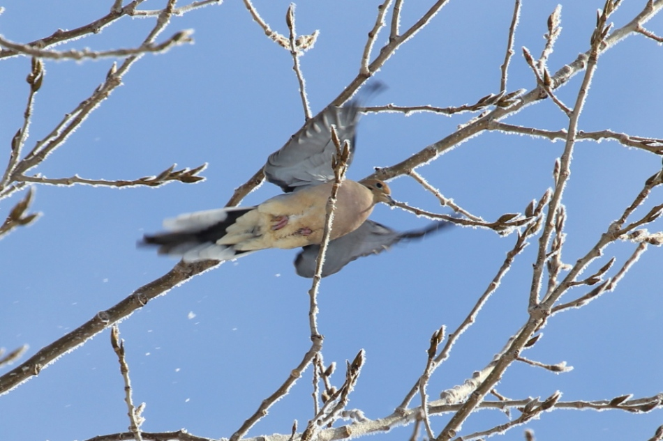 Mourning dove in flight