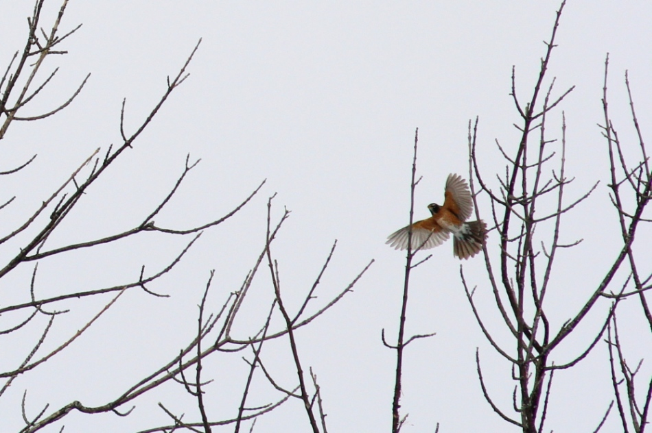 American robin in flight