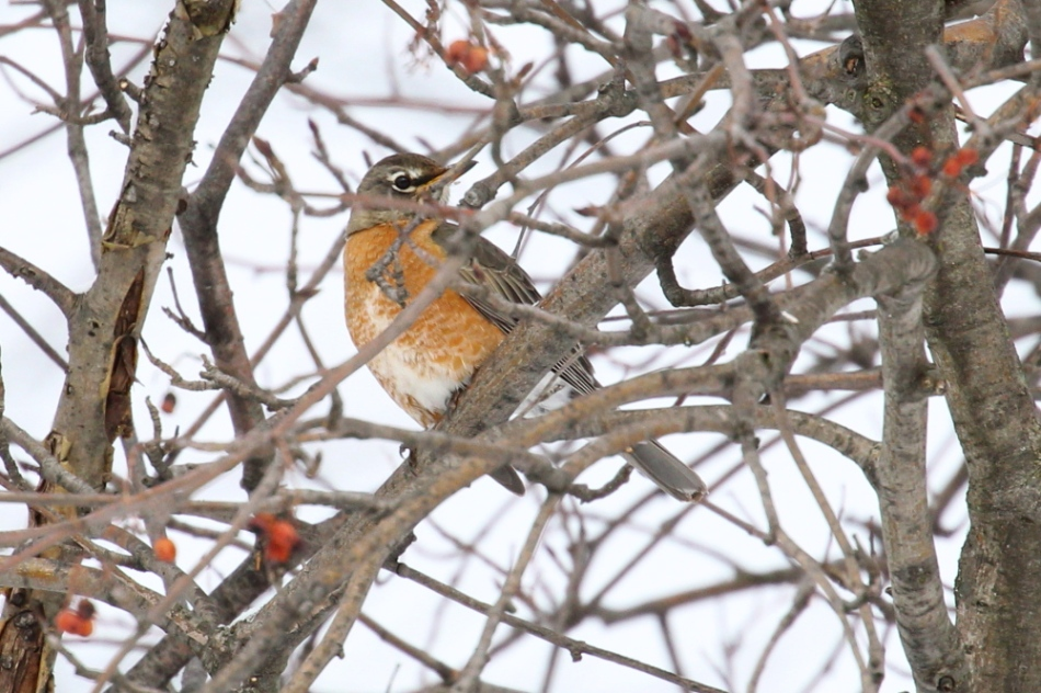 American robin hiding