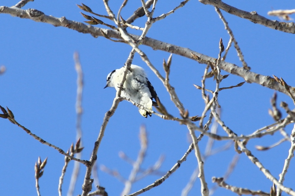 Female downy woodpecker butt