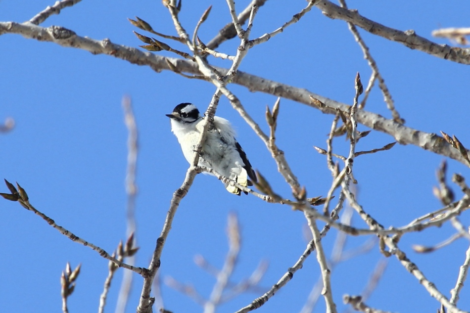 Female downy woodpecker checking me checking its butt