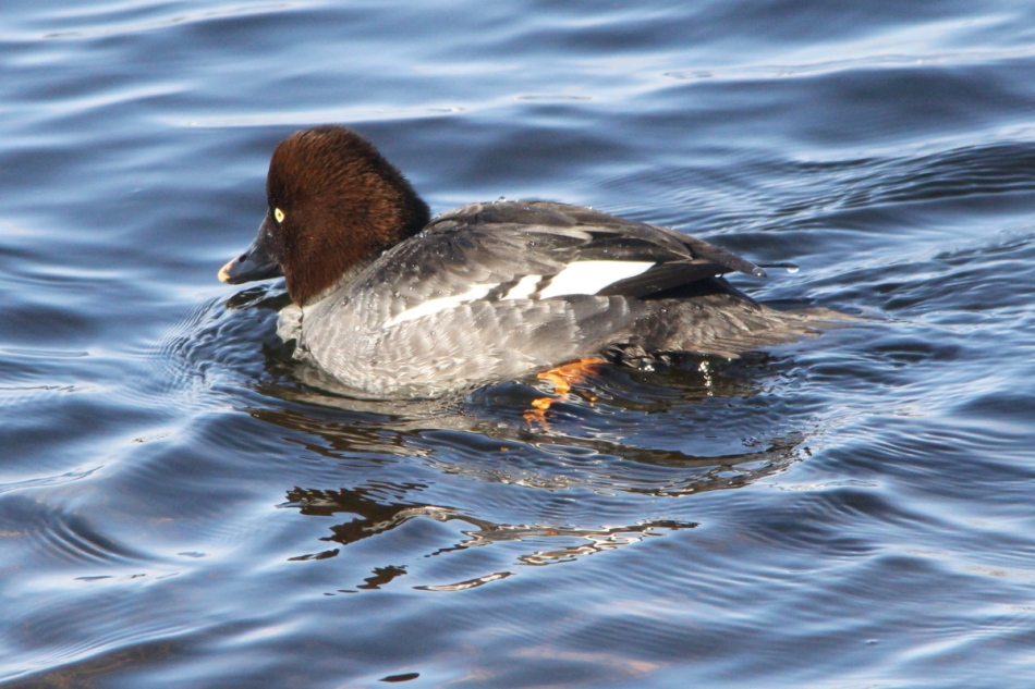 Female common goldeneye