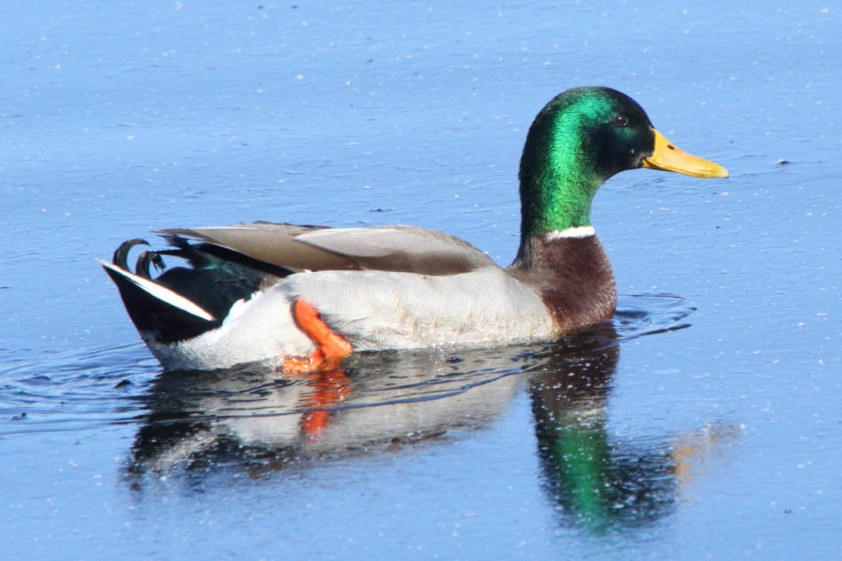Male mallard breaking ice