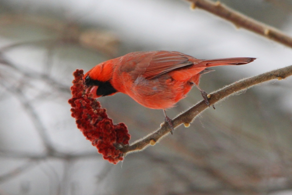 Male northern cardinal eating sumac