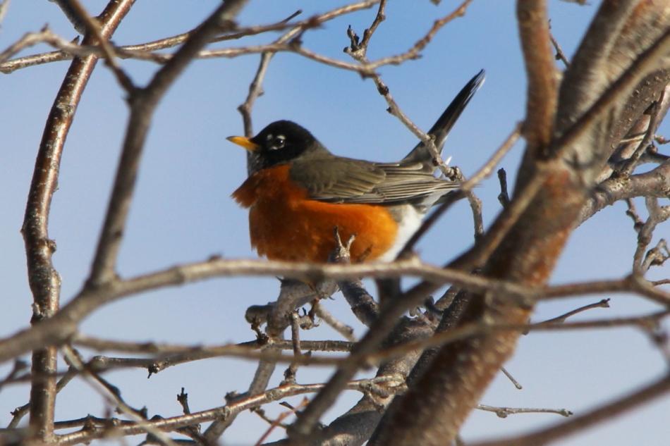 American robin fidgeting
