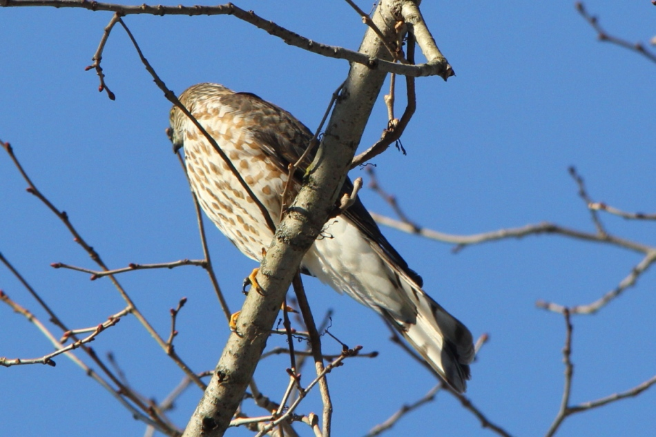 Sharp-shinned Hawk, Accipiter striatus