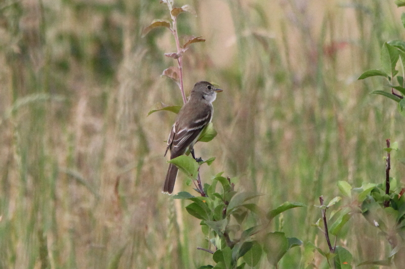 Alder Flycatcher, Empidonax alnorum