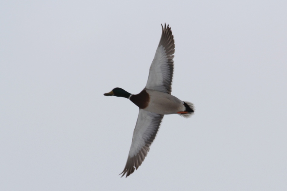 Male mallard in flight