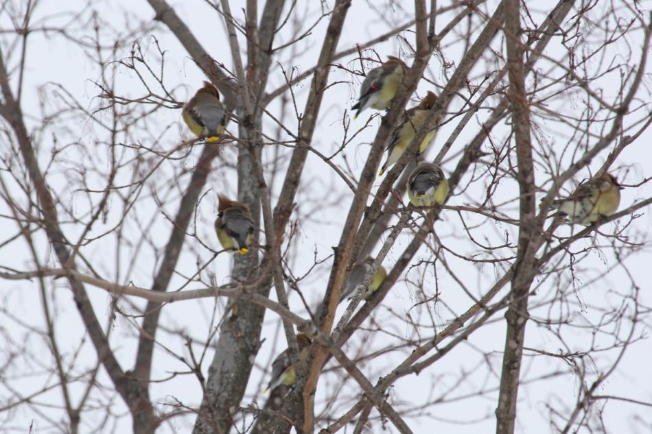 Cedar waxwings