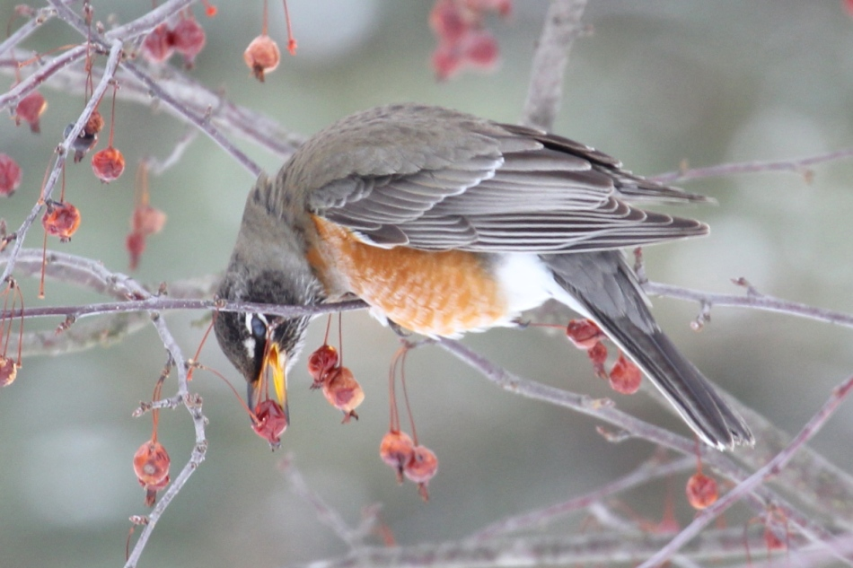 American robin plucking a crab apple
